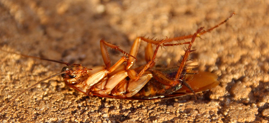¿Las cucarachas son invencibles?