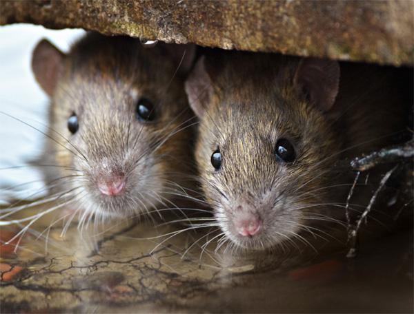 control plaga ratas ratones valencia