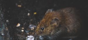 Lee más sobre el artículo Las diferencias entre ratas y ratones