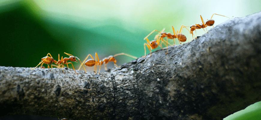 En este momento estás viendo Fumigación de hormigas