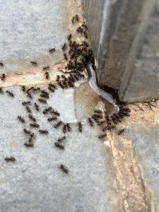 Lee más sobre el artículo Hormigas en Casa