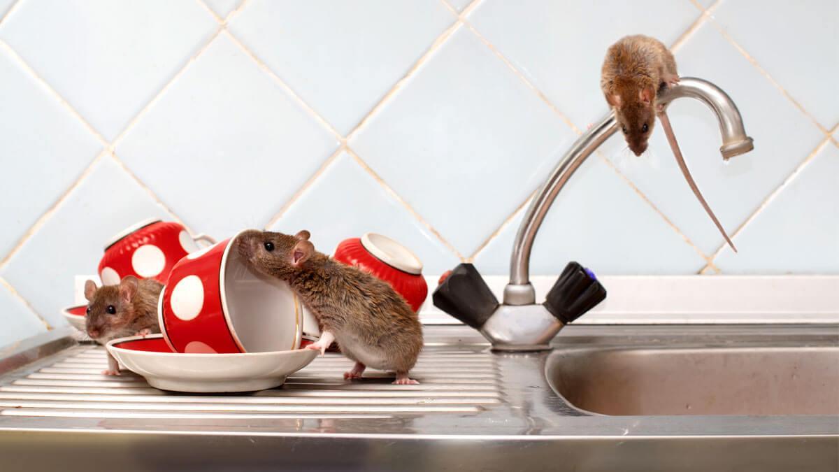 Lee más sobre el artículo Ratones en casa